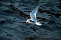 A Black Headed Gull flying in winter plummage