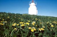 Lesser Celandine by a lighthouse