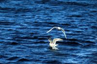 An Iceland Gull flying low