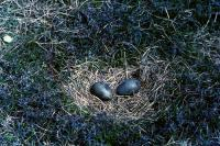 Two Great Skua eggs in a nest