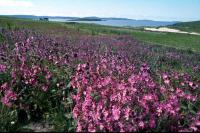 A field of Red Campion
