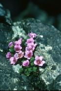 Purple Saxifrage in a crack in the rock