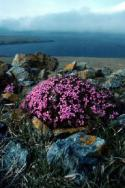 Moss Campion among a cluster of rocks