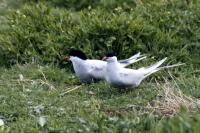 Two Arctic terns on the grass
