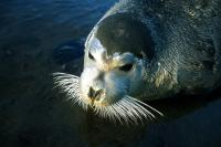 A Bearded Seal shows it's whiskers to the camera
