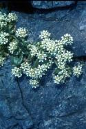 Common Scurvygrass growing in cracks between rocks