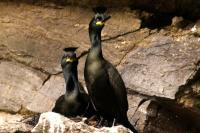 Pair of Shags at the nest
