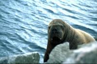 The Walrus peers over the rocks