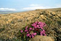 Moss Campion growing on a rocky hilltop
