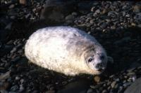 A Grey Seal pup on pebble beach