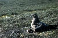 A Great Skua and chick