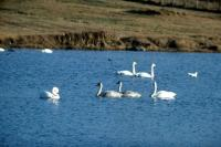 A group of Whooper Swans on the loch