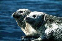 Two Seals against the blue sea