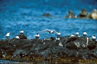 A group of Arctic Terns on a rocky shore