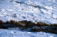 A Snipe on a snowy day