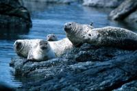 Common Seals.