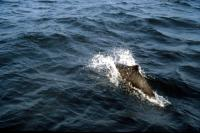 A Porpoise followes the boat.