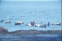 Mixed Group of Common and Steller's Eiders