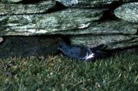 A Storm Petrel shelters beside a wall