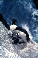 A pair of Guillemots and their chick