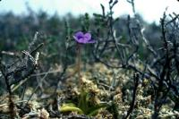 A Common Butterwort flower grows among the heather.