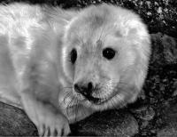 A Grey Seal pup on the rocks