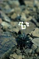 Northern Rock-cress between the rocks