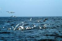 A flock of gulls on the water and in the air
