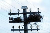 Hooded Crow's nest on a telephone pole