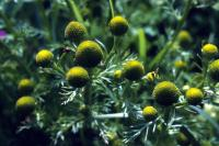 Pineapple Weed flowers in close-up