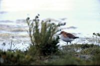 A Little Stint  near the shore
