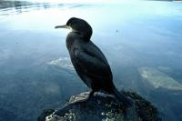 A Shag stands watch on a small rock