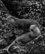 Two Otter on the rocks