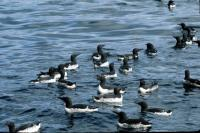 A flock of Guillemots on the sea
