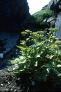 Scot's Lovage growing on a ledge beside a burn