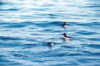 Three Razorbills on the sea