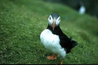 A Puffin at Hermaness,Unst