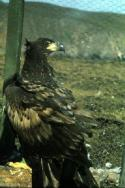 A White-tailed Eagle awaits release