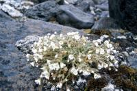 Arctic Mouse-ear Chickweed