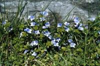 Slender Speedwell grows beside a wall.