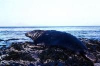 A male Grey Seal