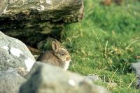 A young Rabbit on Hascosay.