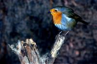 A Robin perching on a branch