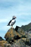 A lone Puffin poses with it's beak full