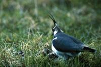 A Lapwing studies it's brood
