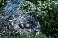 A Common Gull nest with two eggs