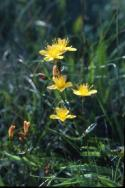 St. John's-wort growing among the grass