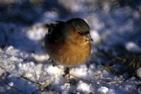 A Snowy day for a Chaffinch
