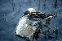 Red-necked Phalarope on small stone