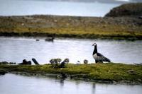 Barnacle Geese with young